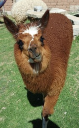 The playful Llama