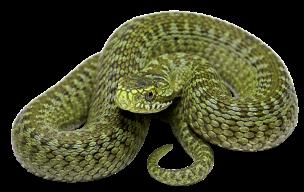 green-serpent